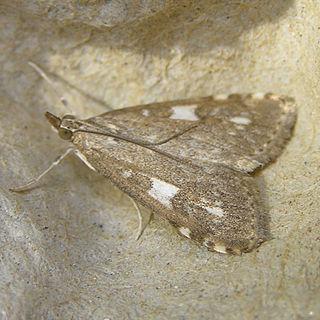 <i>Udea olivalis</i> Species of moth