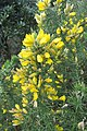 Ulex europaeus - common gorse - at Ooty 2014 (3).jpg