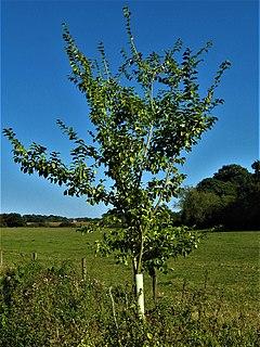 <i>Ulmus</i> Wingham Elm cultivar