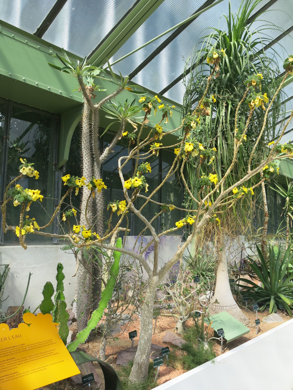 Jardin À L Américaine file:uncarina grandidieri (jardin des plantes de paris)