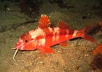 Upeneichthys lineatus