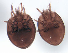 talkuropodina wikispecies