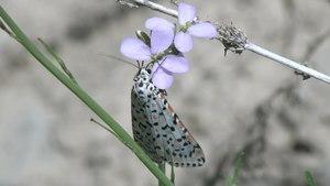 File:Utetheisa lotrix lepida - 2017-02-28.webm