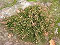 Vřes obecný (Calluna vulgaris).JPG