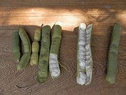 Guama Fruta Wikipedia La Enciclopedia Libre