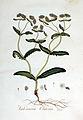 Valeriana olitoria — Flora Batava — Volume v3.jpg