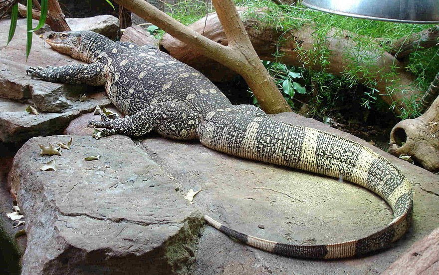 Monitor lizard - The Reader Wiki, Reader View of Wikipedia