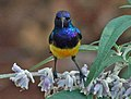 Variable Sunbird male RWD3.jpg