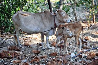 Vechur Cattle Cattle breed