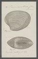 Venus exalbida - - Print - Iconographia Zoologica - Special Collections University of Amsterdam - UBAINV0274 077 12 0023.tif