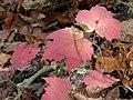 Viburnum acerifolium (30701650212).jpg