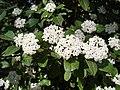 Viburnum tinus. Fiyáu (flores).jpg