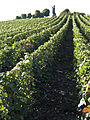Vigne (Chatillon sur Marne pape Urbain2) Cl J Weber02 (23050631673).jpg