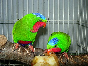 Blue-crowned lorikeet - Two Blue-crowned Lorikeets in a cage.