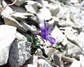 Viola cenisia16072002fleur2.JPG