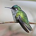 Violet-headed Hummingbird (f) JCB.jpg
