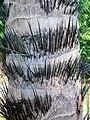 Vista del tallo de Acrocomia aculeata.JPG