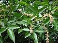 Vitex altissima L.f.jpg