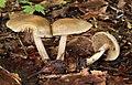 Voreilende Ackerling Agrocybe praecox.jpg