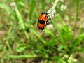 Vrbař uhlazený (Clytra laeviuscula) 00.JPG