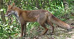 Vulpesvulpesjaponica