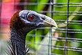 Vulturine guineafowl (Acryllium vulturinum), Gembira Loka Zoo, 2015-03-15.jpg