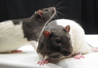 Laboratory rat - Hooded rats