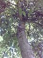 Walnut tree 006.jpg