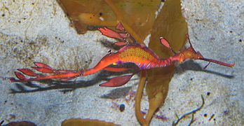 Weedy Sea Dragon Mooloolaba Underwater World.JPG