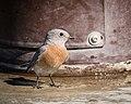 Western Bluebird (37131683454).jpg