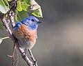 Western Bluebird (m) (40028429812).jpg