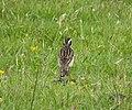 Whinchat Saxicola rubetra, Arran (39304792842).jpg