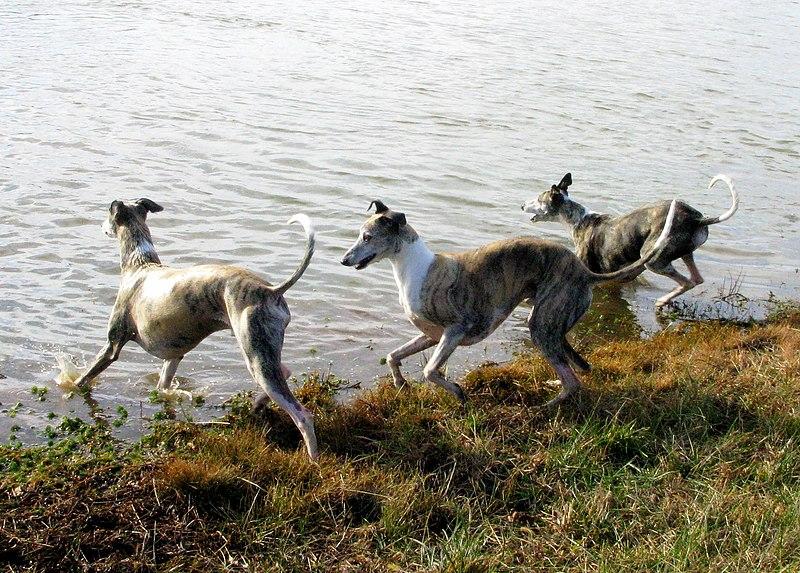 perros whippet en el agua