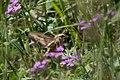 White-lined Sphinx Moth Greenhouse Trail Portal AZ 2018-09-07 11-24-59 (31794083268).jpg