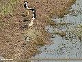 White-tailed Lapwing (Vanellus leucurus), Green Sandpiper (Tringa ochropus) & Red-wattled Lapwing (Vanellus indicus) (32923314311).jpg