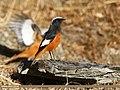 White-winged Redstart (Phoenicurus erythrogastrus) (32672156262).jpg