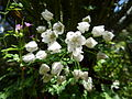 White flowers fl.jpg