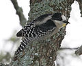 White fronted woodpecker (Melanerpes cactorum) - Flickr - Lip Kee.jpg