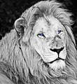 White lion bw (3867203799).jpg