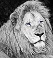 White lion bw (3867203799).jpg