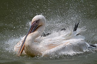 White pelican at Sheikh Mujib Safari Park.jpg
