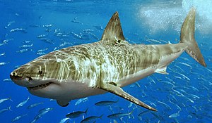 White shark (cropped).jpg