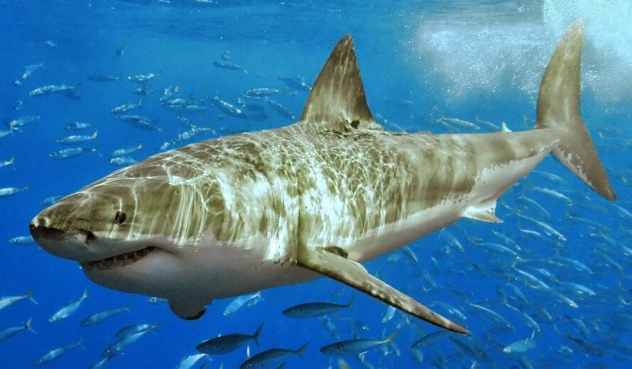 White shark (cropped)