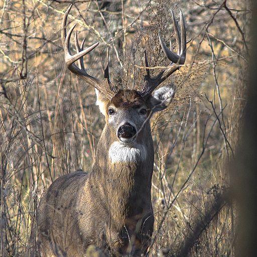 https://upload.wikimedia.org/wikipedia/commons/thumb/e/e5/Whitetail_Deer.jpg/512px-Whitetail_Deer.jpg