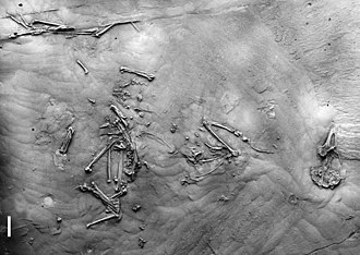 Passerine - Wieslochia fossil