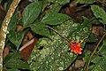 Wild Ginger (Globba atrosanguinea) (22867760944).jpg