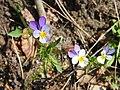Wild Stiefmütterchen (Viola tricolor) (1).JPG