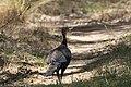 Wild Turkey ( Gould's) San Pedro House Sierra Vista AZ 2017-05-11 09-30-17 (33758558384).jpg