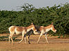 Indian Wild Ass in Indian Wild Ass Sanctuary