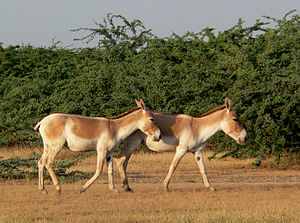 Indian wild ass - Small herd of Indian wild asses in Little Rann of Kutch.